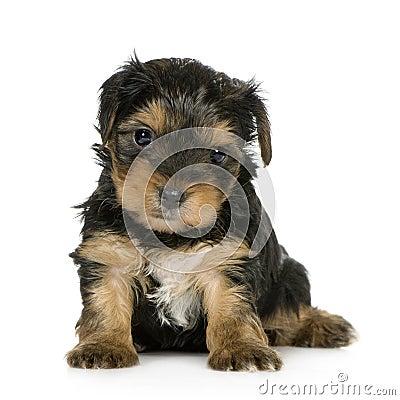 chiots-de-chien-terrier-de-yorkshire-1-mois--thumb4736767 dans CHIEN