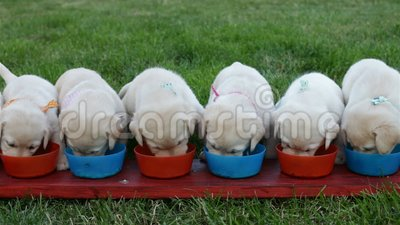 Chiots mignons de Labrador mangeant de leurs cuvettes - enfant les arrangeant banque de vidéos