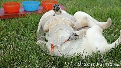 Chiots potelés mignons de Labrador luttant dans l'herbe banque de vidéos