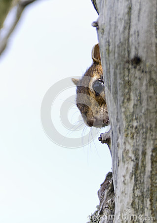 Chip looks out from behind the trunk of a dry tree