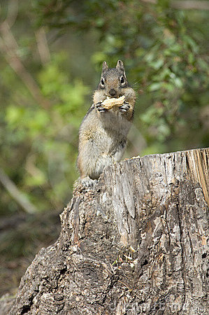 Free Chipmonk Eating A Peanut Royalty Free Stock Photos - 2381668