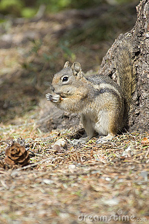 Free Chipmonk Eating A Peanut Royalty Free Stock Image - 2381676
