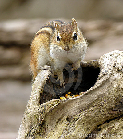 Free Chipmunk 2 Stock Photo - 94420