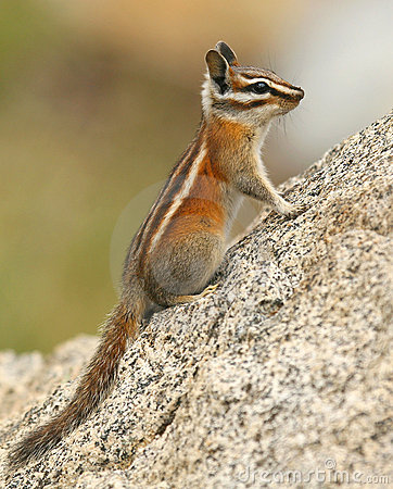 Free Chipmunk Stock Photos - 3669253
