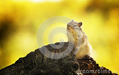 Chipmunk in an autumn forest