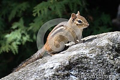 Chipmunk on boulder