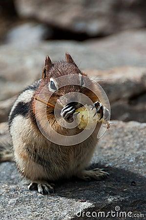 Free Chipmunk Eating Apple Royalty Free Stock Images - 17914019