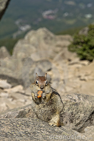 Chipmunk Eating Nut