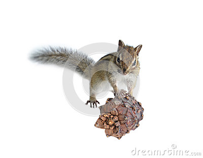 The chipmunk eats a cedar seed