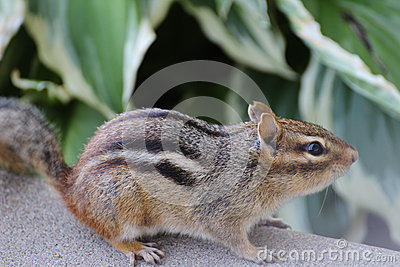 Chipmunk, female
