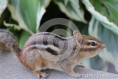 Chipmunk, female