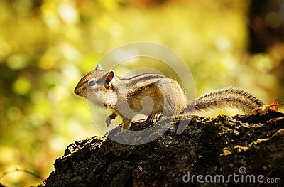 Chipmunk in a forest