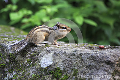Chipmunk with full cheeks crawling for nuts.