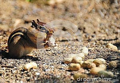 Chipmunk Gathering Peanuts