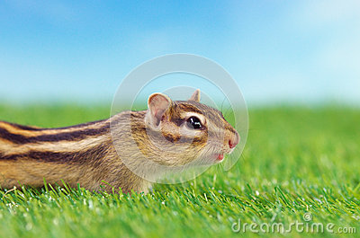 Chipmunk on a grass field
