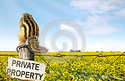 Chipmunk sits on a fence near sunflowers field