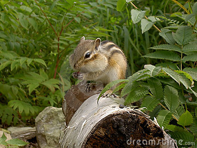 Chipmunk on tree trunk