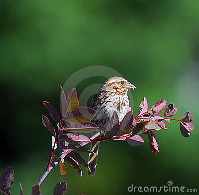 Free Chipping Sparrow Stock Photography - 3077612