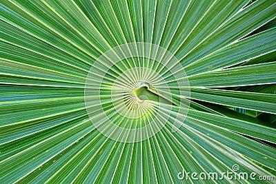 Chit Florida Thatch Palm THRINAX RADIATA