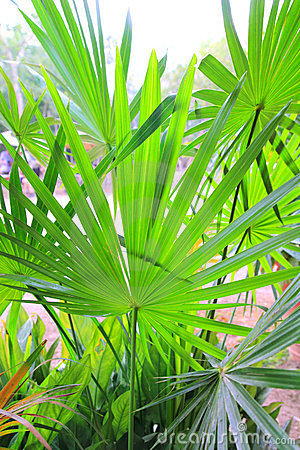 Chit Palm ree leaves in Yucatan rainforest mexico