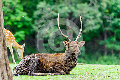 Chital deer , Spotted deer , Axis deer on raining day