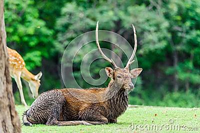 Chital deer , Spotted deer , Axis deer on raining day