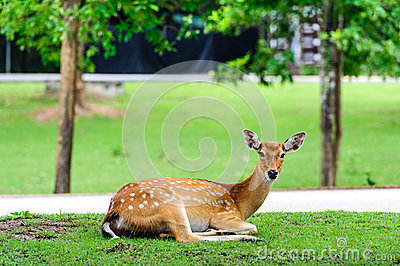 Chital deer , Spotted deer , on raining day