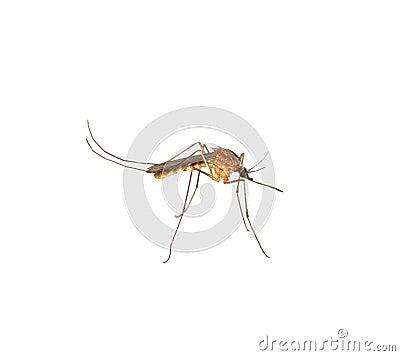 Chiuda in su del moquito isolato