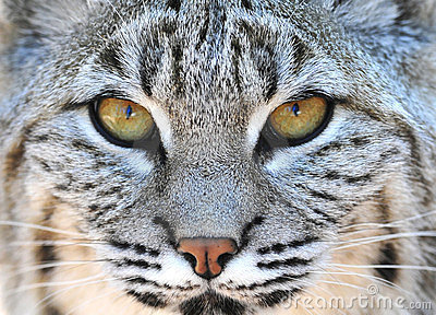 Chiuda sul gatto selvatico nordamericano yellowstone degli occhi