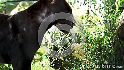 Chiusura di un giaguaro nero che cammina in un paesaggio forestale, gatto selvatico raro avvistato, vicino a specie animali minac video d archivio