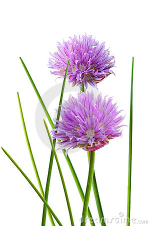 Free Chive Flower Royalty Free Stock Images - 9851069