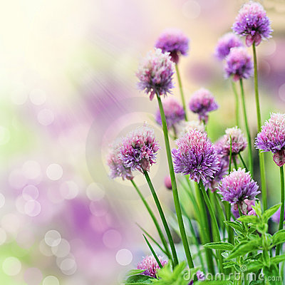 Free Chive Flowers Stock Image - 14496371