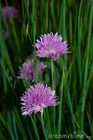 Free Chive Flowers Stock Image - 15897791