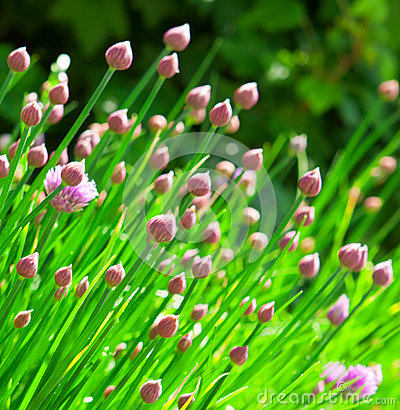 Free Chive Flowers Royalty Free Stock Images - 31604029