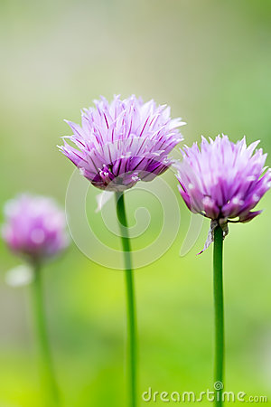 Free Chive Flowers Macro Royalty Free Stock Photography - 46154177