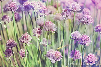 Chive herb flowers on beautiful bokeh background pastel colors