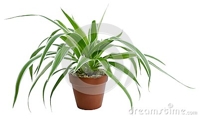 Chlorophytum comosumvariegatum