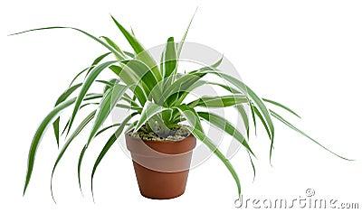 Chlorophytums-comosum variegatum