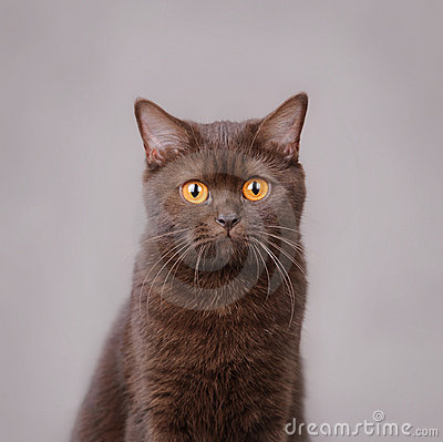 Chocolate British shorthair cat