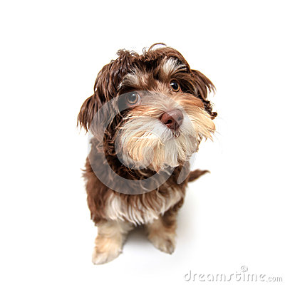 Chocolate brown puppy on isolated background