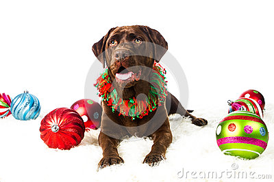 Chocolate Holiday Labrador Retriever