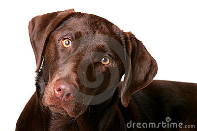 Chocolate Lab 1