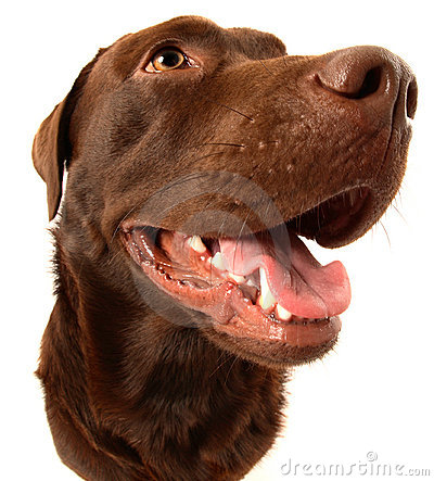 Free Chocolate Labrador Royalty Free Stock Image - 10882806