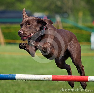 Free Chocolate Labrador Royalty Free Stock Images - 24489039