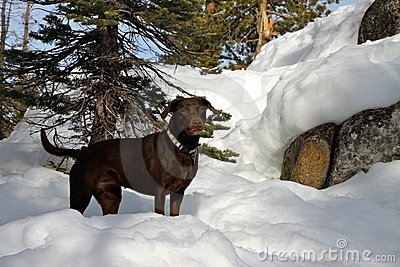 Chocolate Labrador dog in the snow