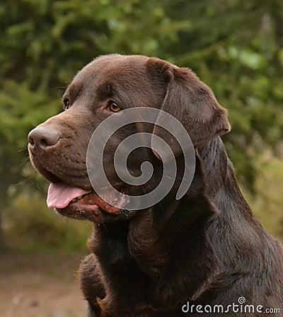 Free Chocolate Labrador Head Royalty Free Stock Photography - 70280747