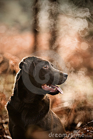 Free Chocolate Labrador In Cold Countryside Stock Images - 7975924