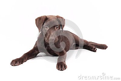 Chocolate Labrador puppy laid down