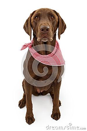 Chocolate Labrador Retriever Dog With Scarf