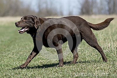 Chocolate Labrador Retriever in Field